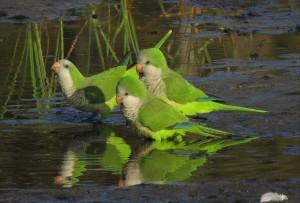 monk-parakeets-1059384_1280
